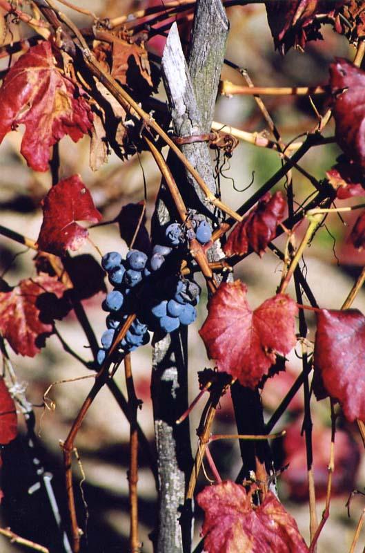 """A imagem """"http://galicias.com/fotos/outono/maricel/images/uvas.jpg"""" contém erros e não pode ser exibida."""